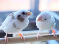 小鳥の産卵防止方法の一例